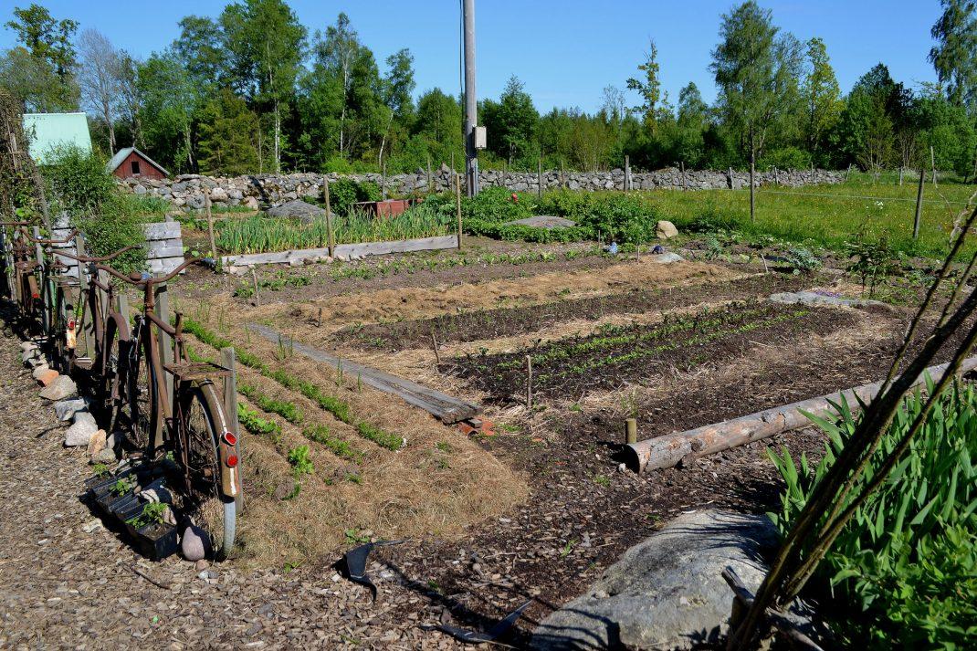 Köksträdgården i försommarskrud. Det börjar bli lite grönt i bäddarna.