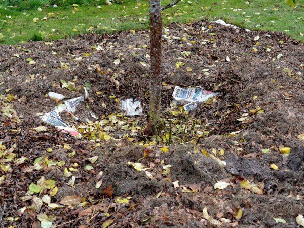 En liten trädstam omges av täckmaterial.