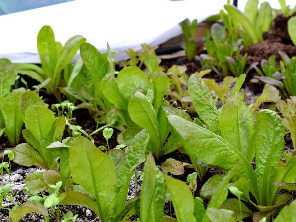 Små sallatsplantor på rad i tunnelväxthuset.