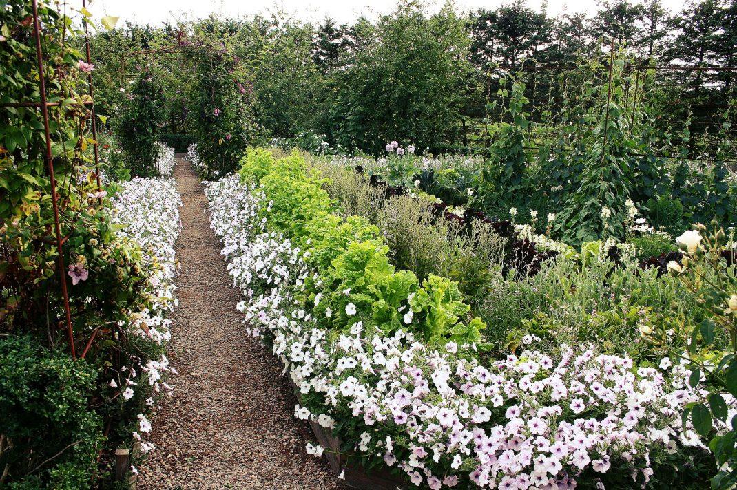 En vacker gång i köksträdgården kantas av vita petunior.