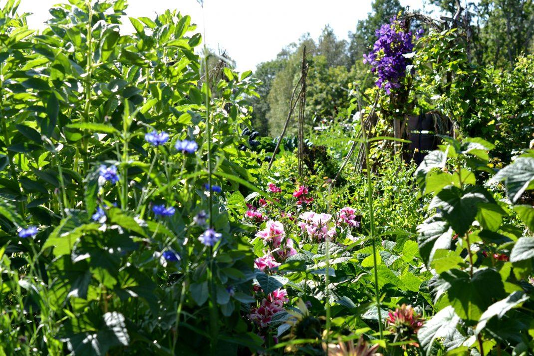 Blommande grönsaksbäddar i köksträdgården.