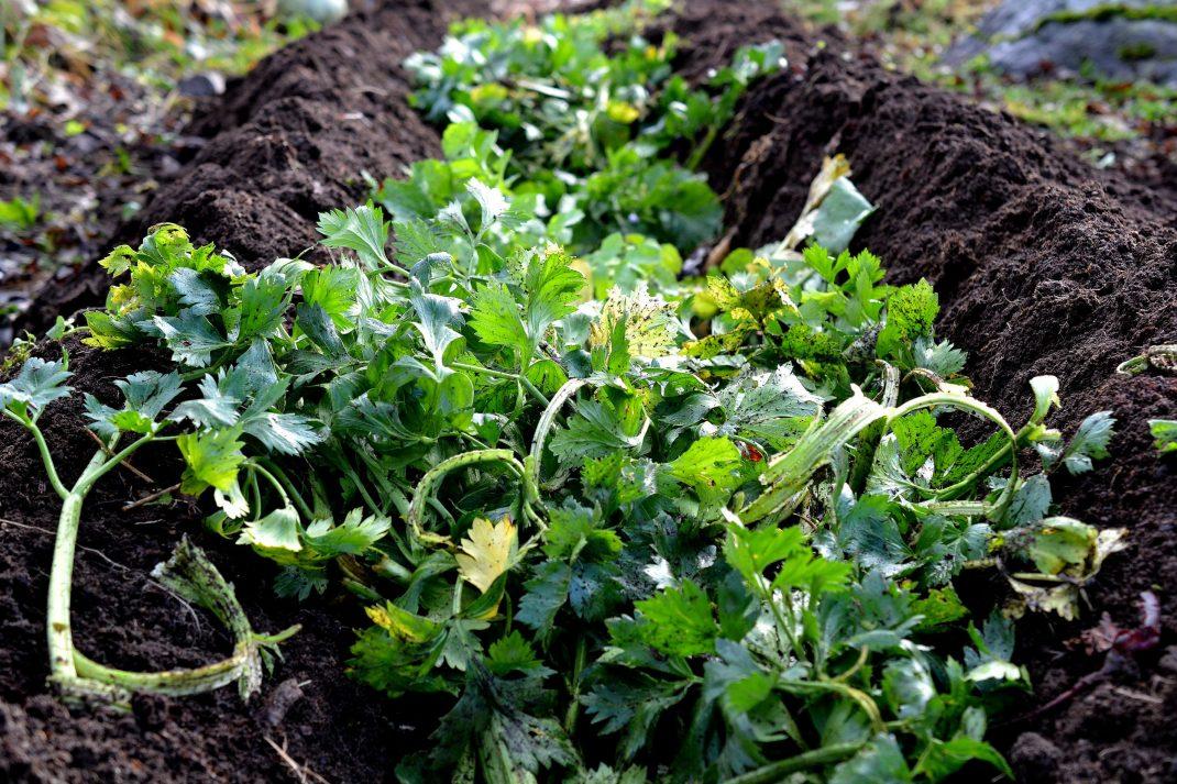 En djup ränna är grävd mitt i bädden och fylld med grön växtmassa.
