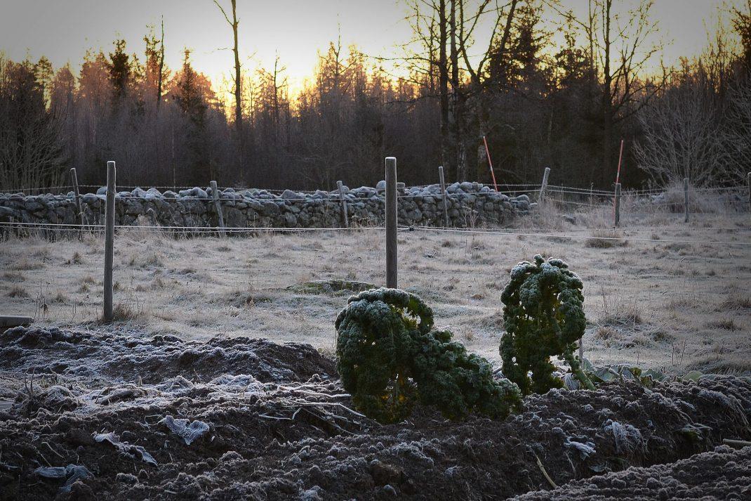 Vinter i köksträdgården med lågt ljus och två ensamma grönkålsplantor i landet.