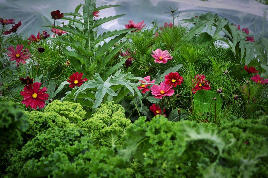 Ett frodigt land med grön kål och rosa blommor.