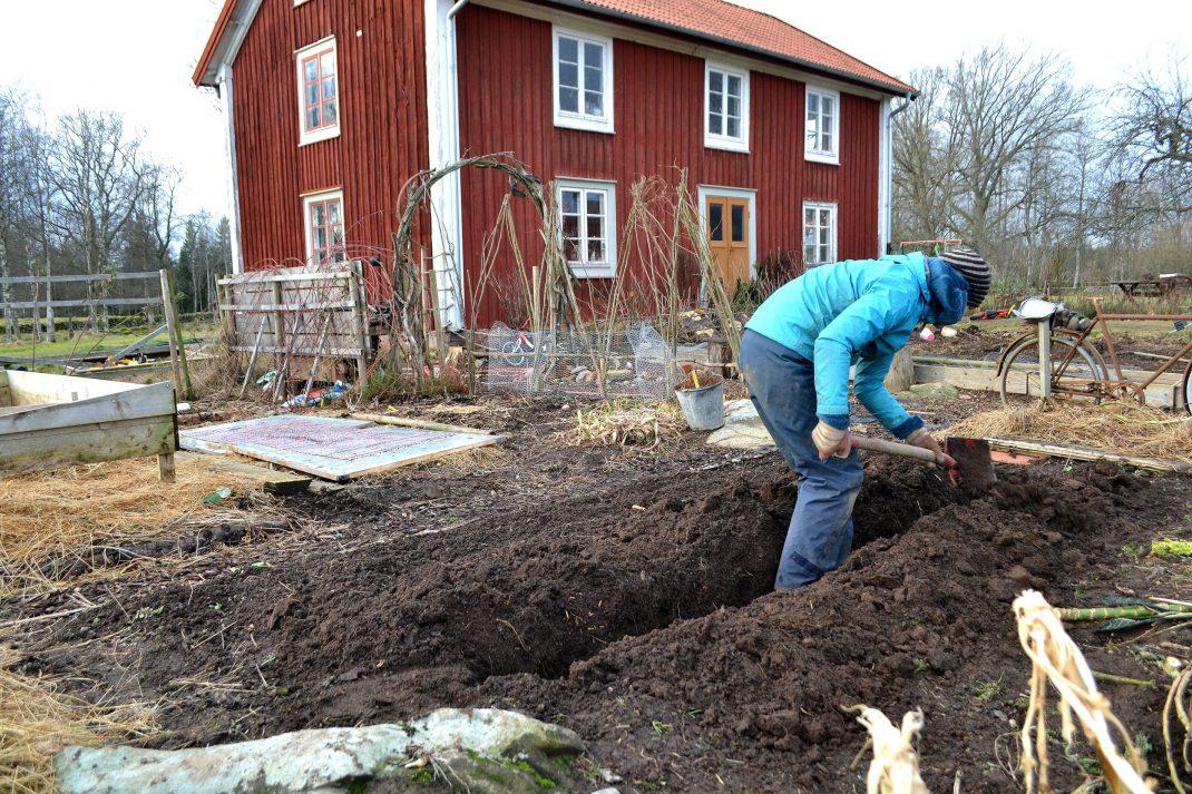 Köksträdgård i barmark.