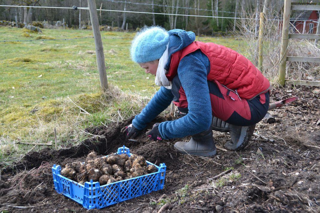 Sara skördar jordärtskockor.