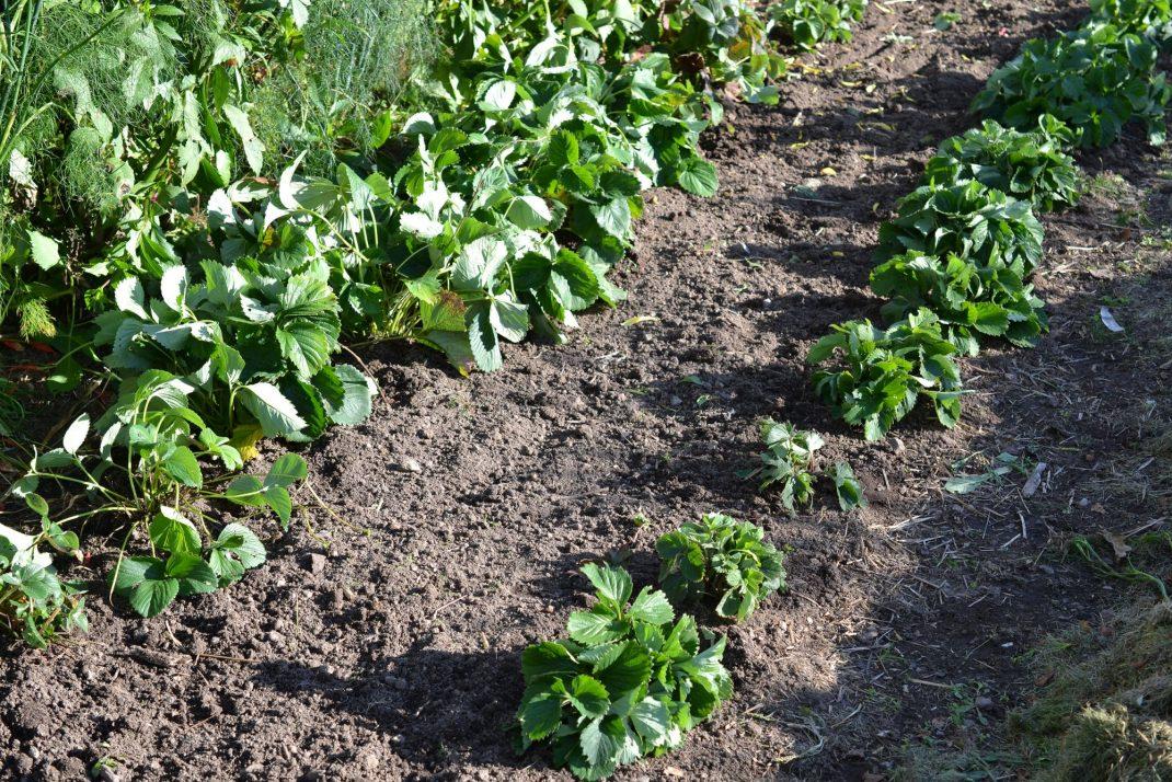 Två rader jordgubbar kantar en odlingsbädd.