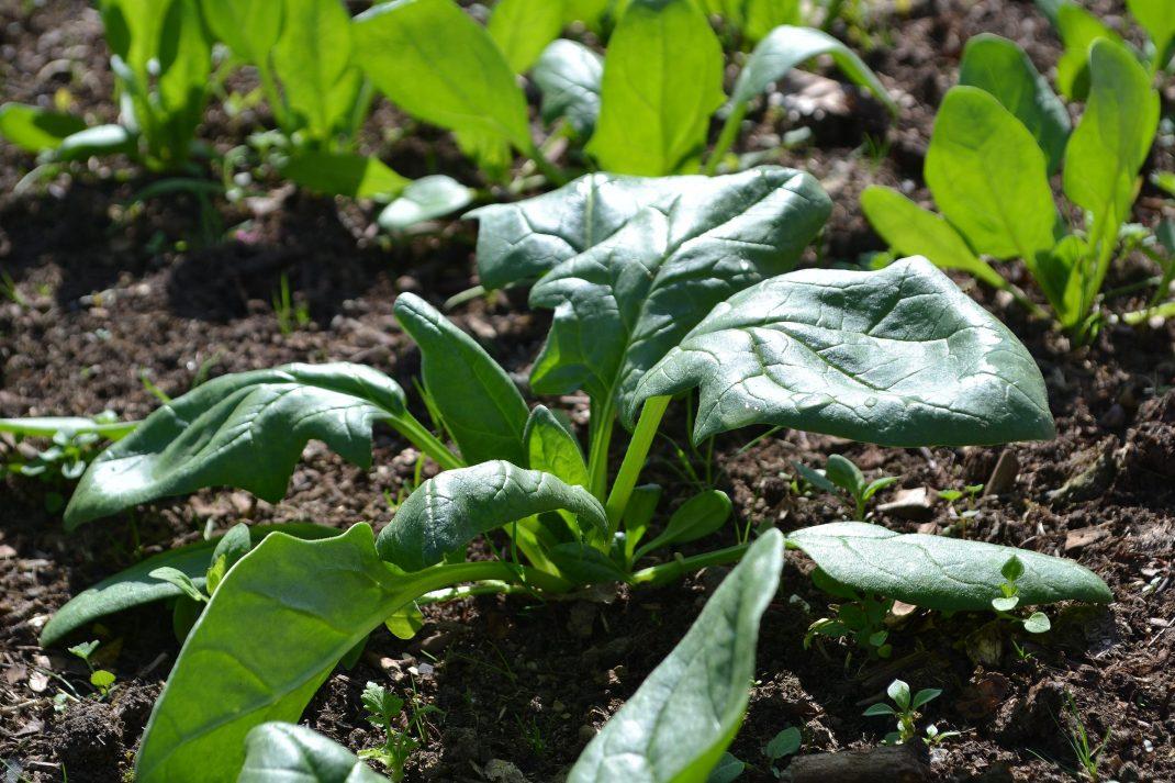 Gröna fina blad av spenat växer i en pallkrage.