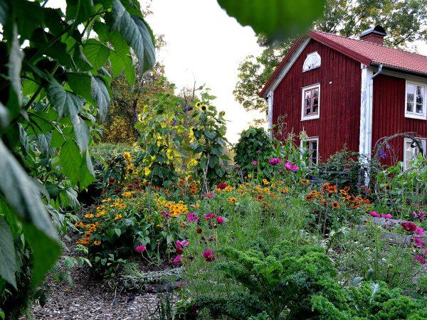 En vy från köksträdgården i augusti när det är fullt av färgglada blommor i trädgården.