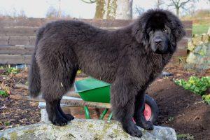 En svart unghund av newfoundlandsras står på en sten i köksträdgården.