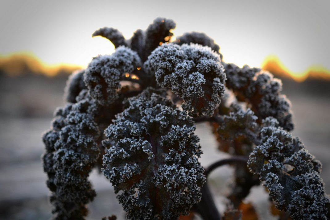 Purpurkål i lågt vinterljus, frostnupen.