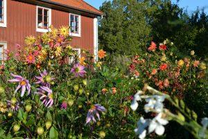 Köksträdgård med mängder av sommarblommor.