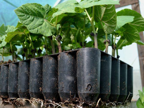 Bönor växer i ett pluggbrätte.