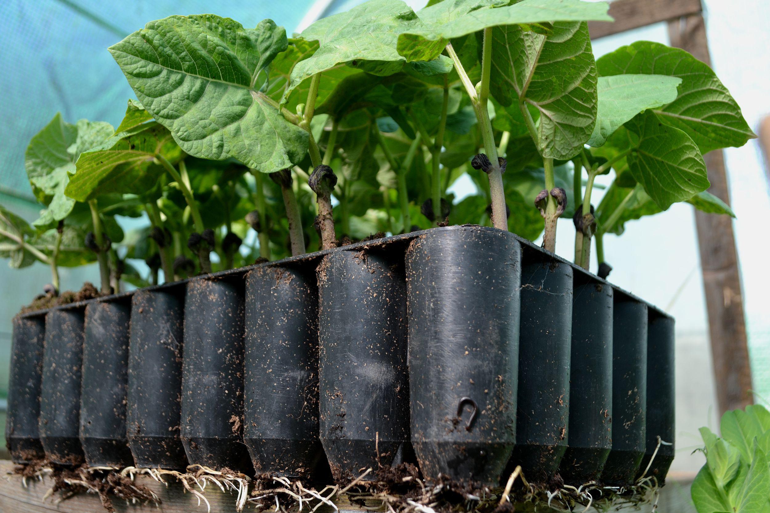 odla svarta bönor