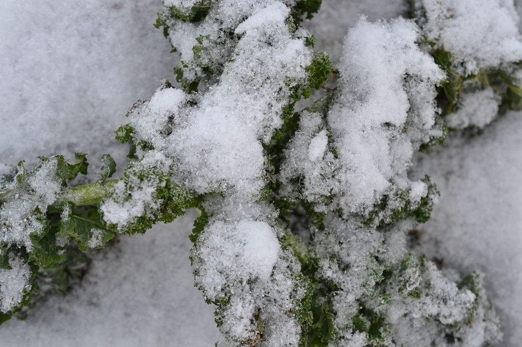 Snötäckt liten planta av grönkål.
