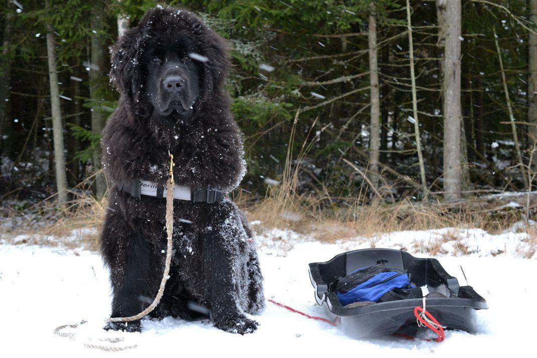 Kuling sitter i snön med skogen som fondvägg och en pulka vid sidan.