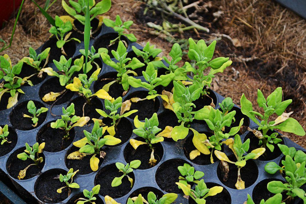 Många små plantor står i ett tråg för skogsplantor.
