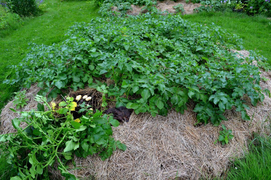 Potatis odlas i ensilage.