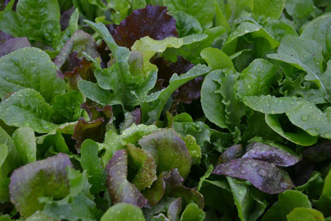 En bred grön matta av olika sorters sallat.