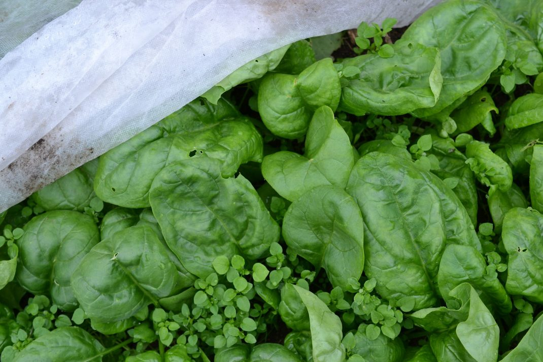 Spenat står som en grön matta under vit fiberduk.