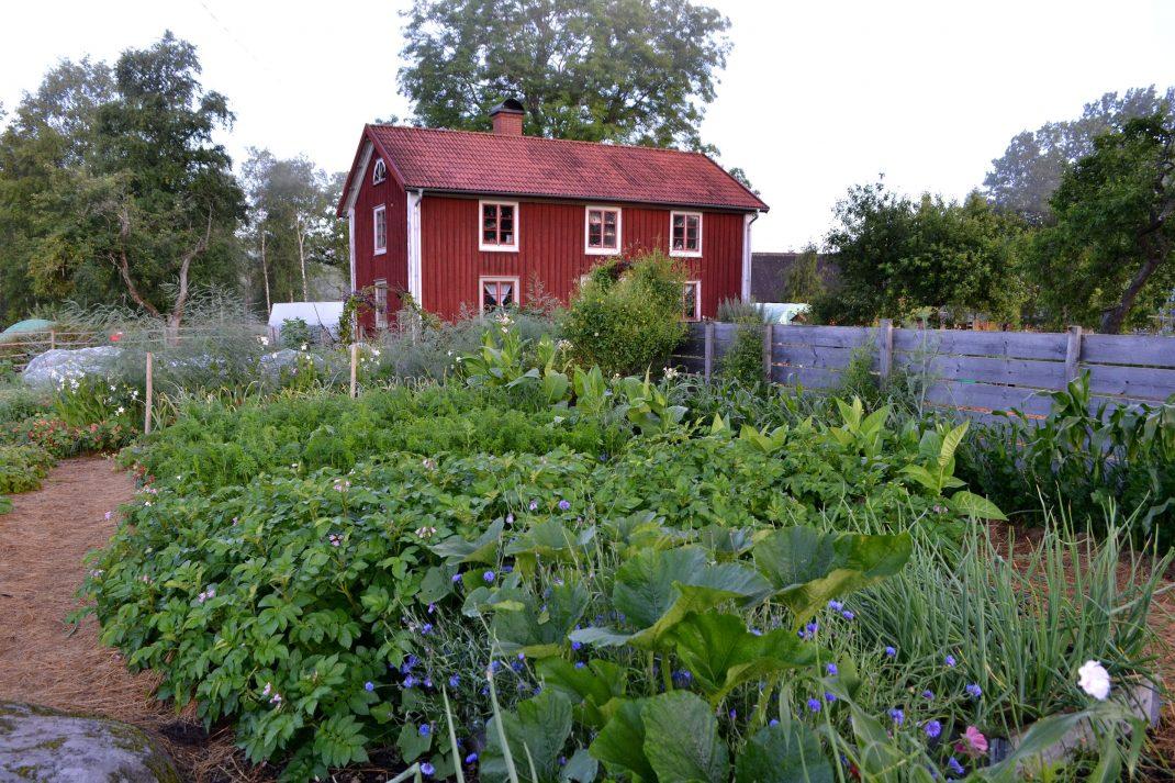 Köksträdgården med det röda parhuset i bakgrunden.