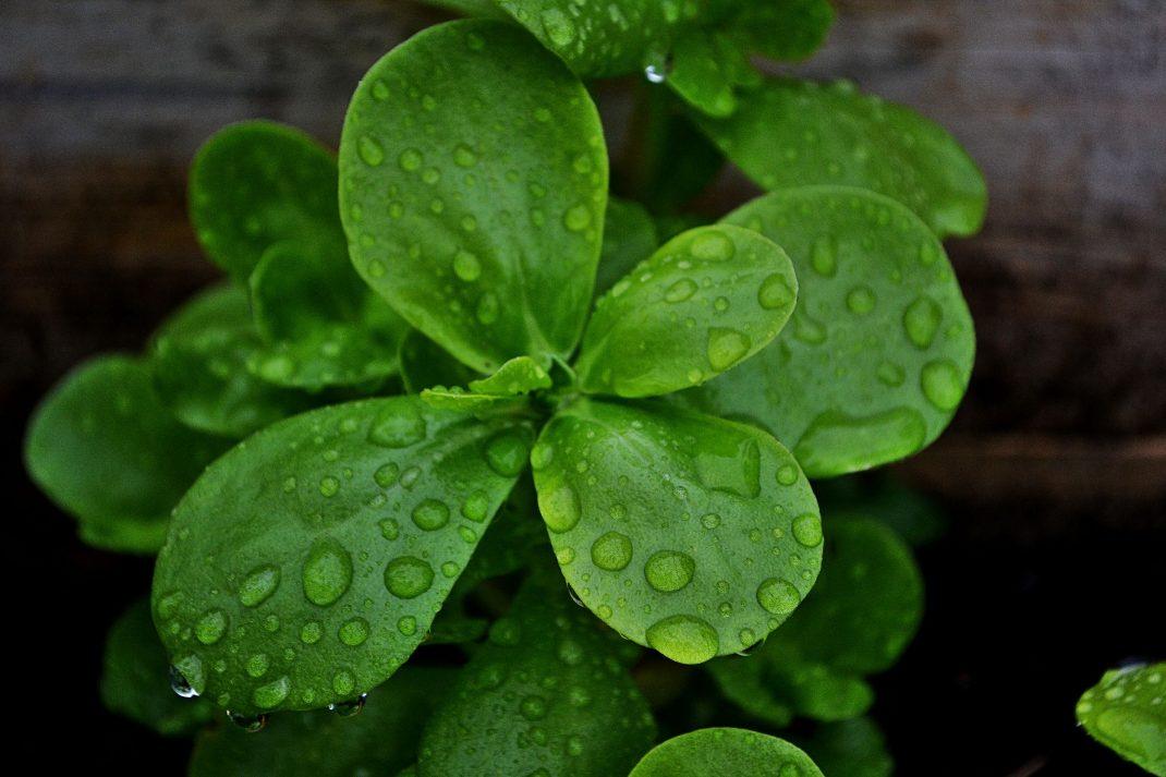 Gröna läckra blad på en ganska liten planta.