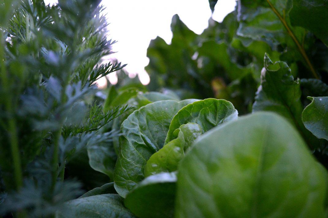 Tät grönska i varmbänken tidig vår, sallat, morot, betor.