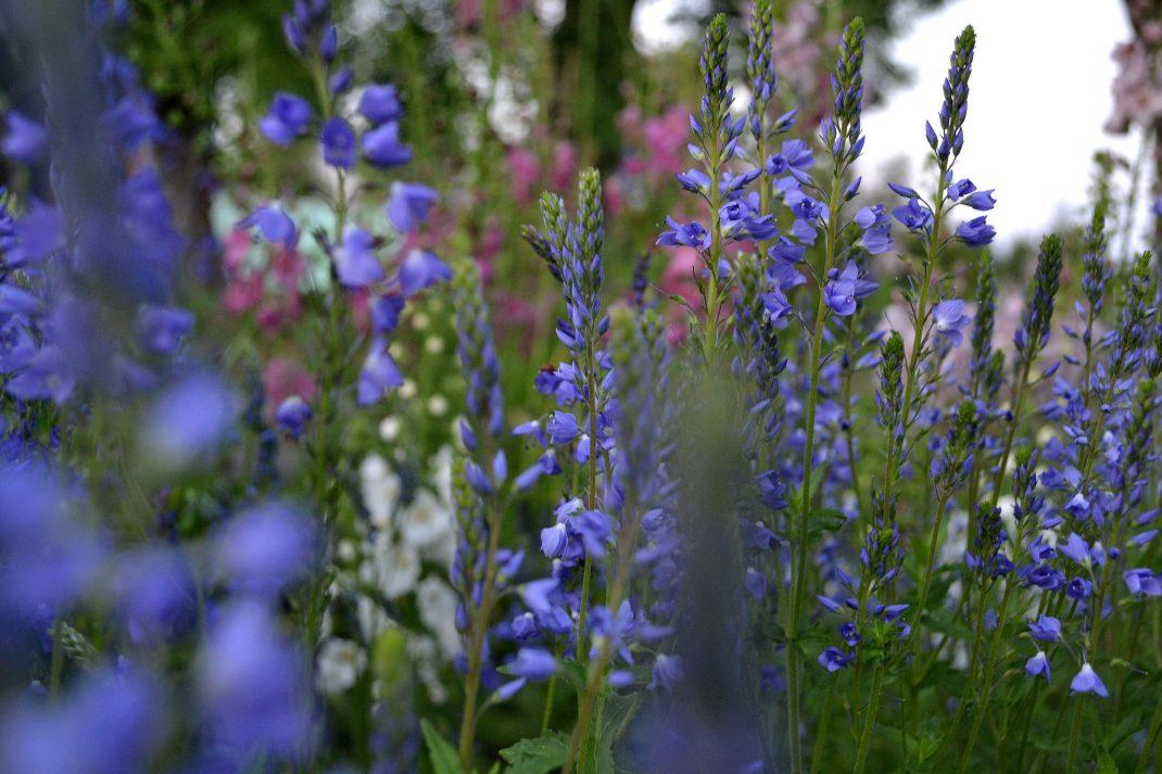 Blommande blå perenner.