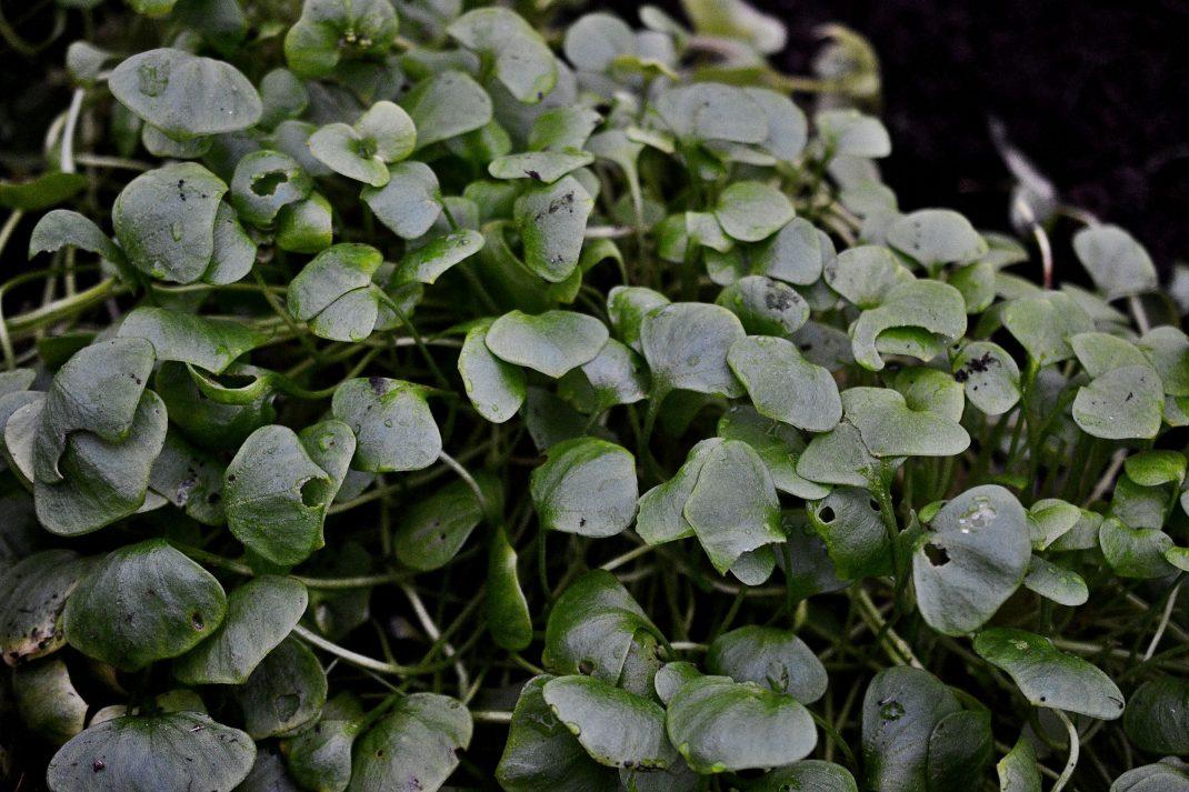 Vinterportulak med dova mörkt gröna blad.