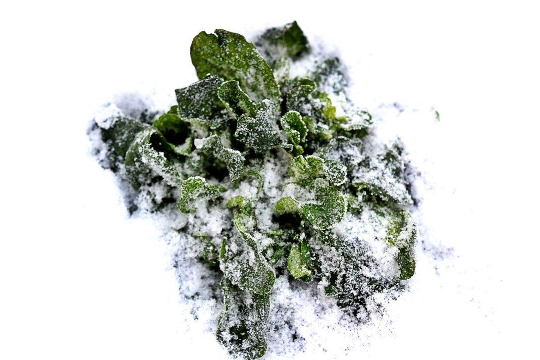 En planta vintersallat bildar en stor rugge ute i det tjocka snötäcket.
