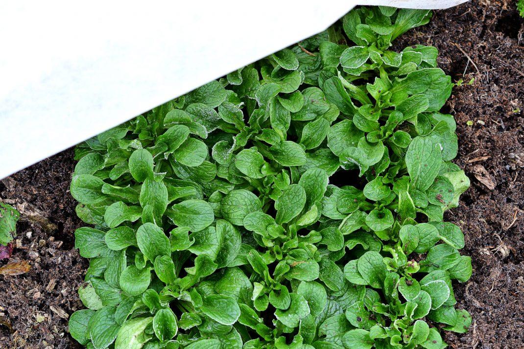Läckert gröna blad står tätt tillsammans i frusen jord.