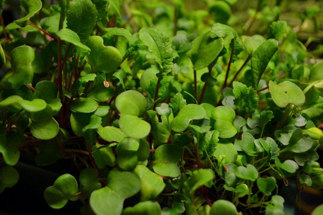 En grön matta av bladgrönsaker redo att skördas.