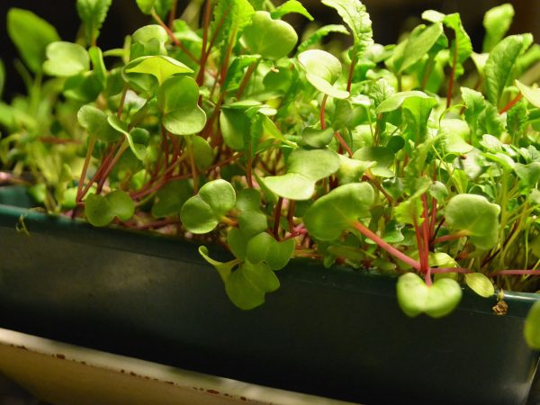 Ett tråg fullt med flera centimeter höga bladgrönsaker redo att skördas.