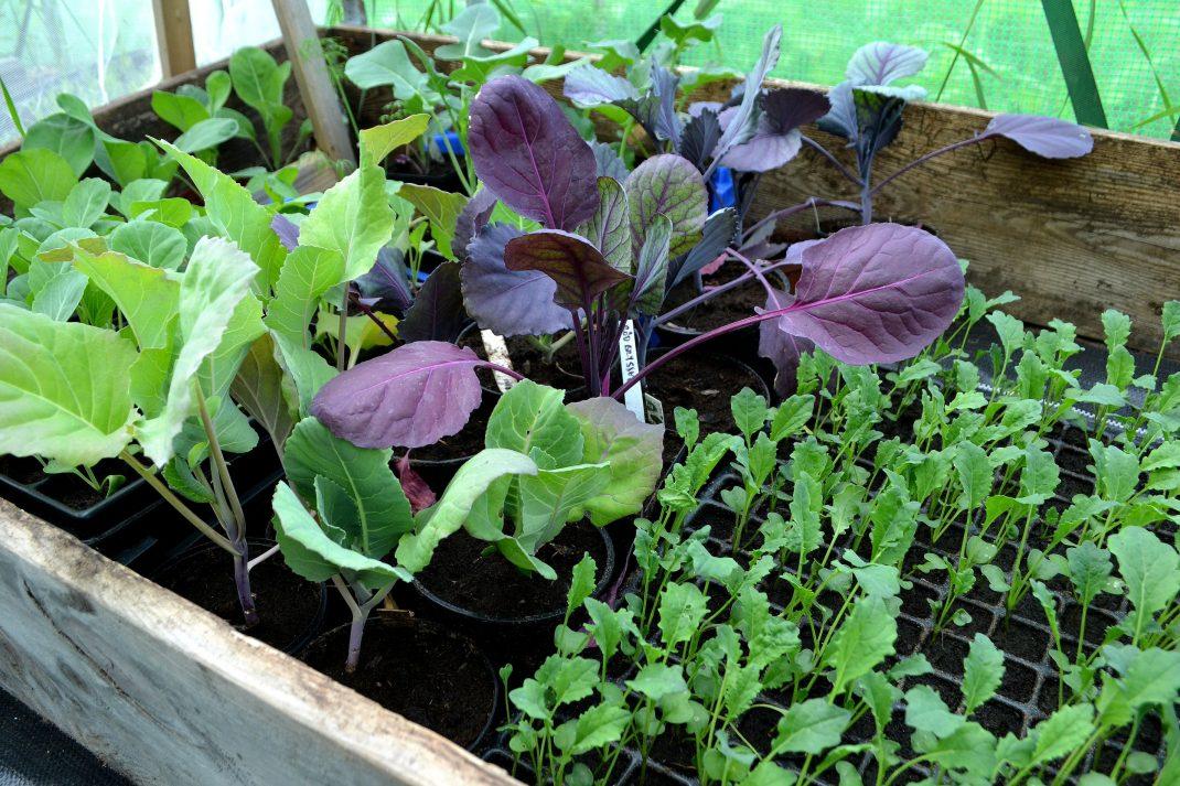 Kålplantor i olika färger står i krukor i en pallkrage.