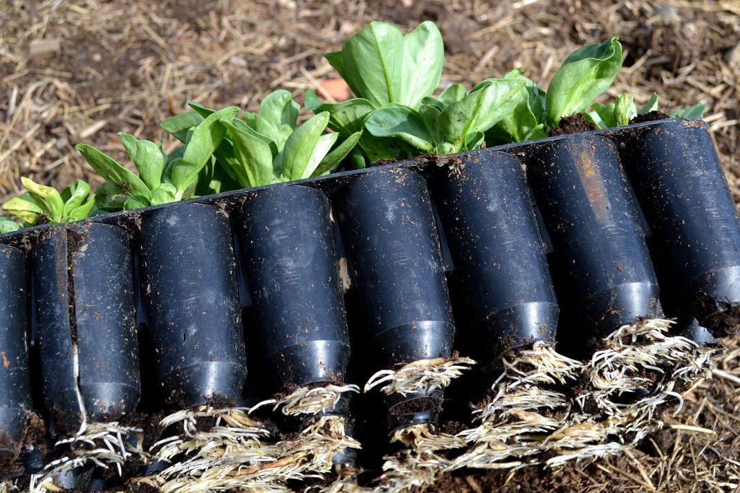 I en så kallad plugg eller djupare liten kruka blir bondbönans rotsystem kraftigt och fint. De växer snabbt så det gäller att så plantorna i lagom tid inpå utplanteringen så de inte blir så stora att de tappar växtkraft i de små pluggarna.