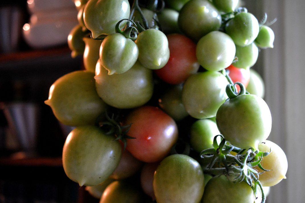 Ett knippe med gröna tomater inomhus.