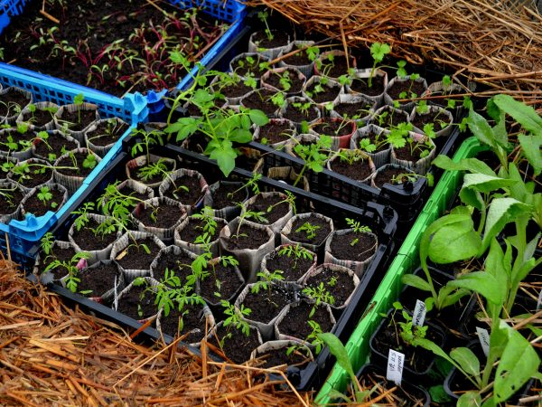 Småplantor ståendes i en varmäbänk.