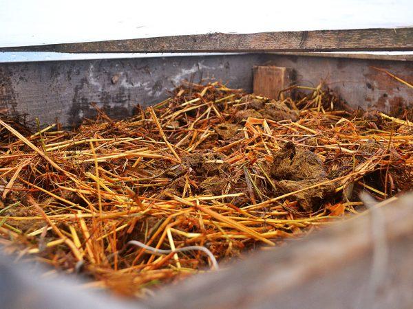 Odlingsramen i varmbänken är fylld av hästskit som väntar på att bli varm.