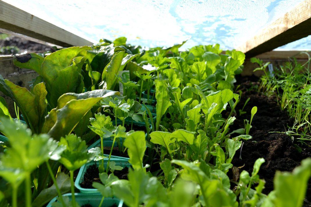 Gröna växter i en varmbänk med lock.