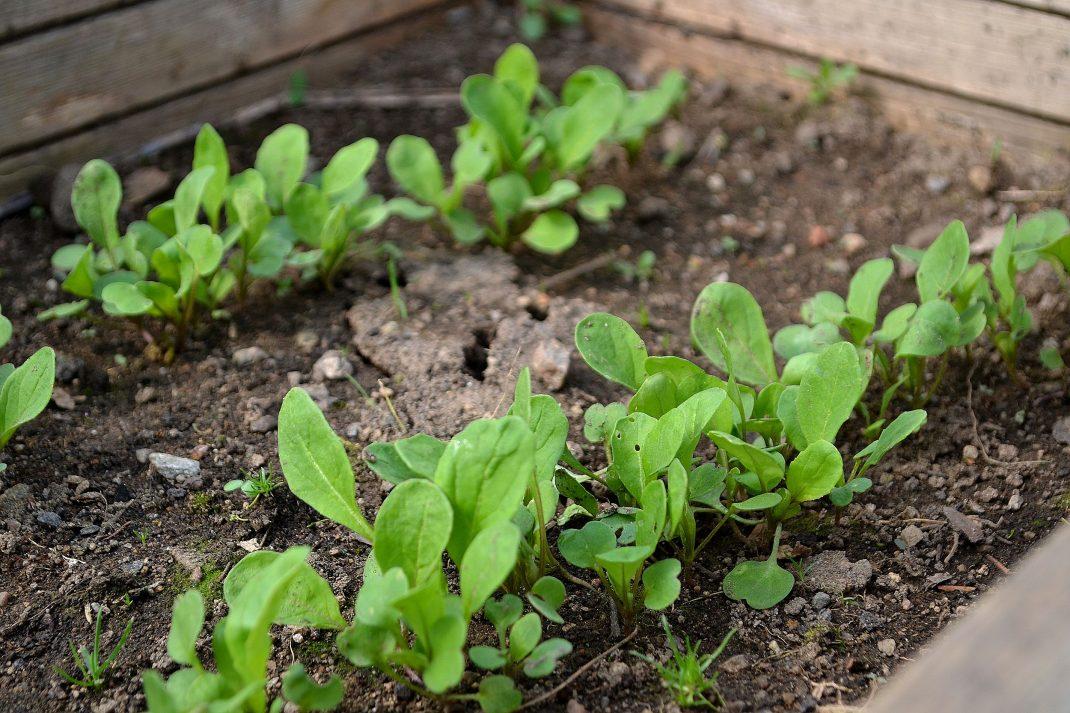 Små plantor av rucola i en kallbänk.