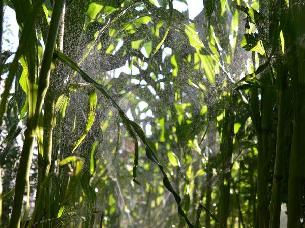 Majsplantor vattnas i köksträdgården