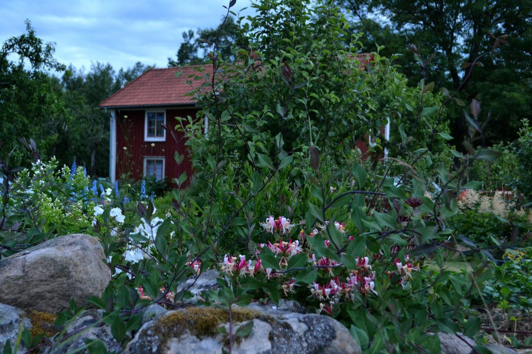 Kaprifol växer längs stenmuren. No-dig flower beds, honeysuckle by my stone wall.
