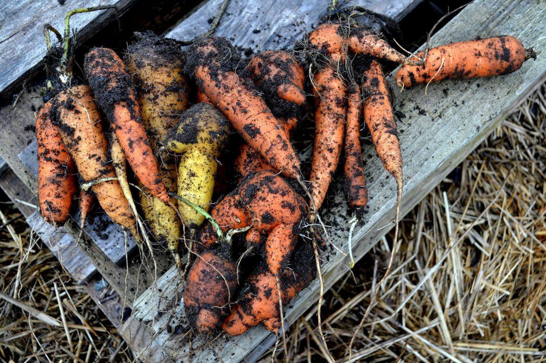 Skörd av morötter ligger på en lastpall.