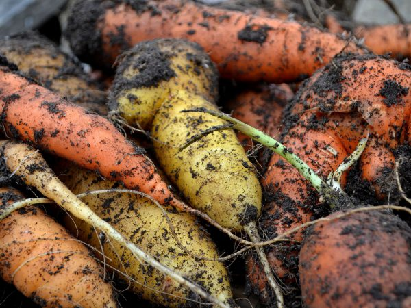 Vackra jordiga morötter i olika färger