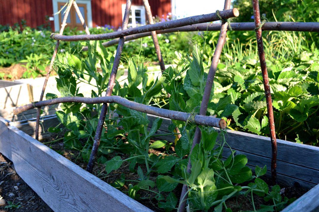 En odlingslåda med sockerärter under sommaren.