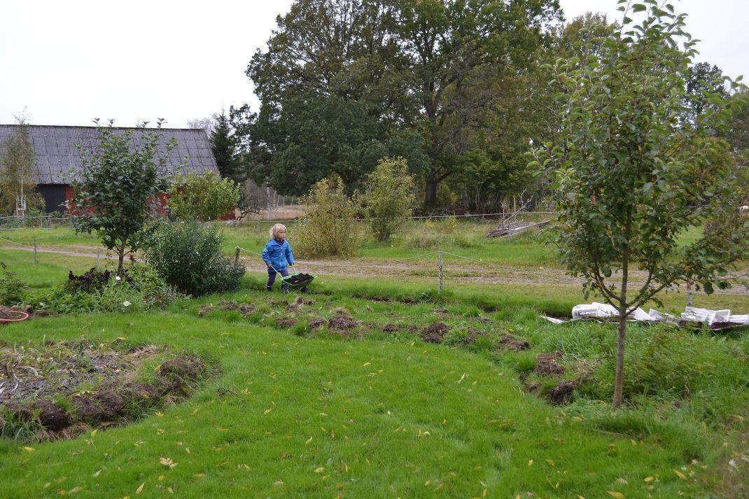 Ett område av trädgården med gräsmatta och blivande land. No-dig flower beds, my future beds.