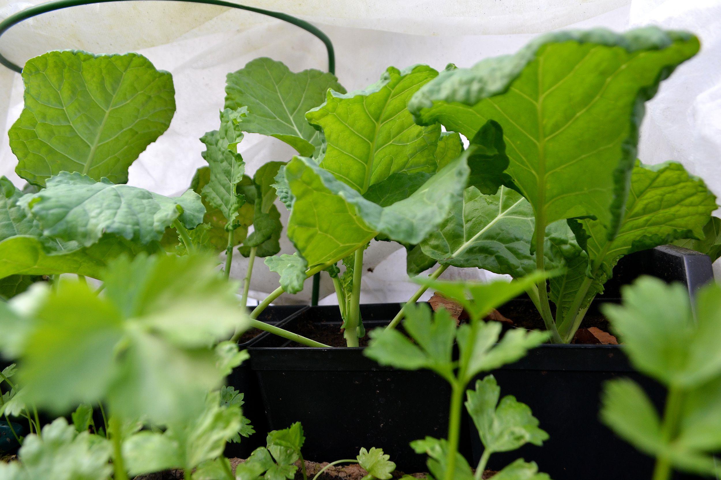 Gröna frodiga plantor står under fiberduk tillsammans.