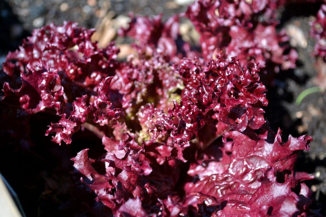 En röd sallat med krusiga blad.