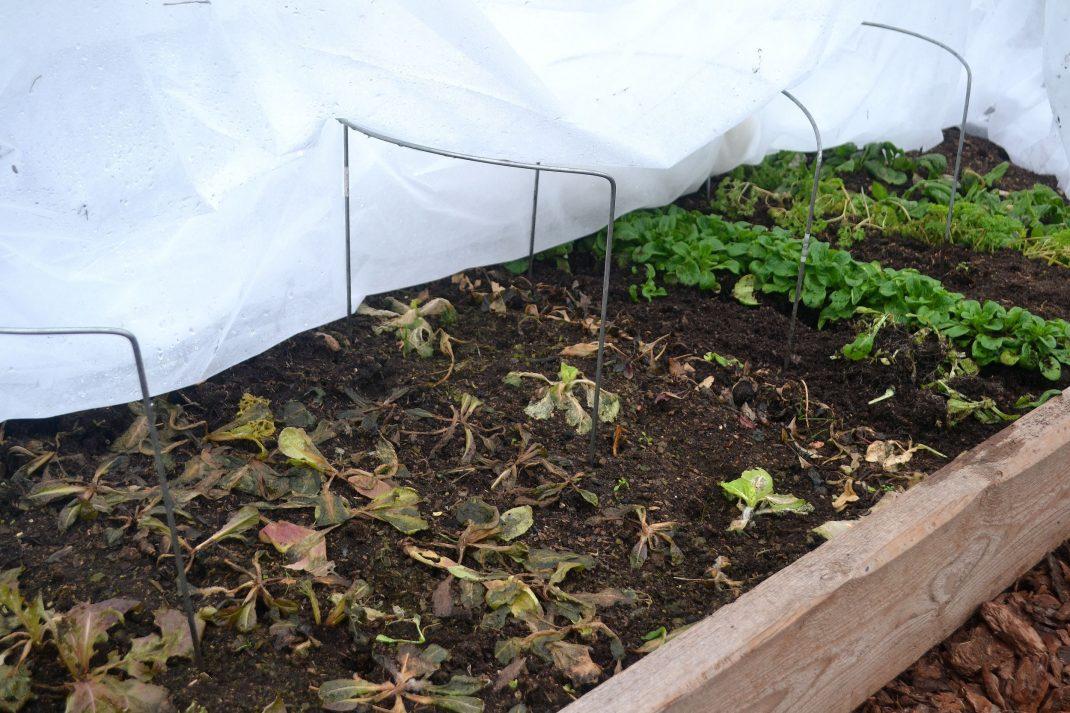 En odlingsbädd i tunnelväxthuset med frusen sallat.