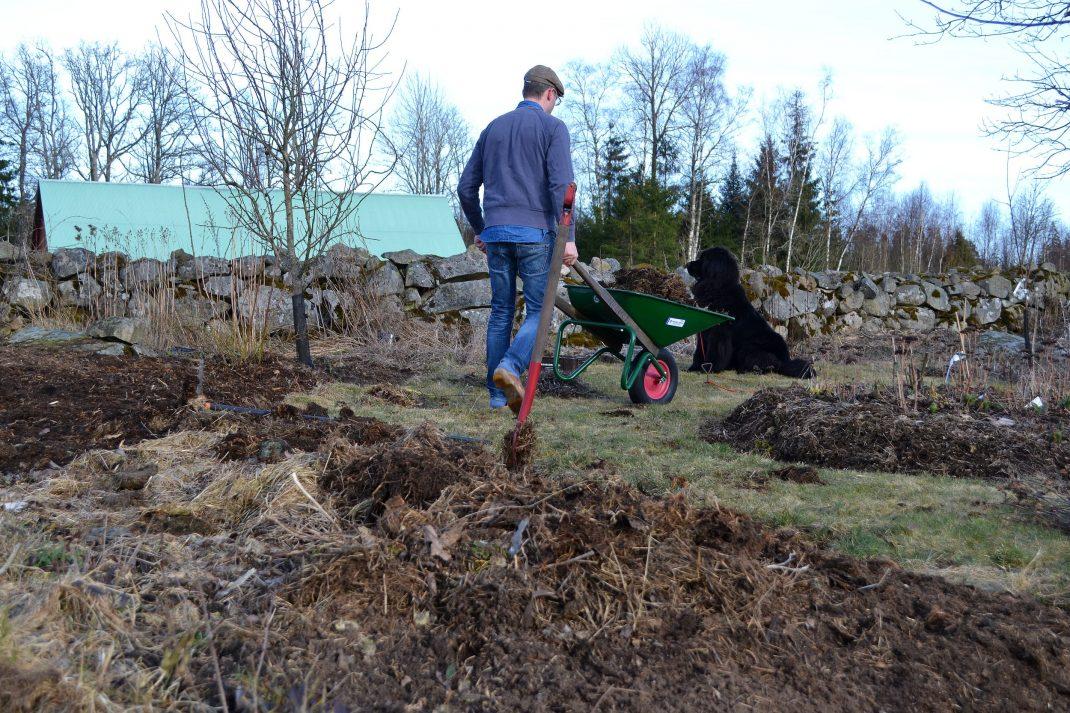 En man kör skottkärra, en hund tittar på. No-dig flower beds, my husband with a wheelbarow.